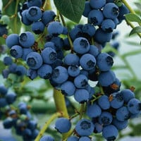 Blueberry Northern Lowbush Seeds (Vaccinium angustifolium) 50+Seeds