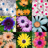 2017 New 100 Pcs/bag Bonsai Chrysanthemum seeds Daisy Flower Seeds Balcony Indoor office potted plants For Home Garden