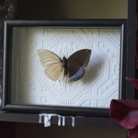 Preserved De-scaled Archduke Butterfly Shadow Frame Display by TheButterflyBabe
