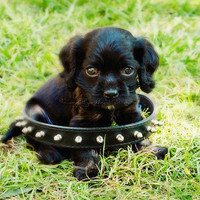 puppy photograph it's all about attitude cute black by MyanSoffia