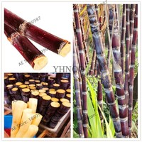 Succulent sugar cane seeds 100 particles delicious Vegetable and fruits seeds Are rich in sugar sugarcane seed health