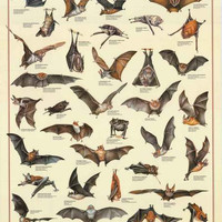 Bats Chiroptera Animal Education Poster 27x39