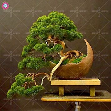 20pcs japanese black pine natural indoor bonsai tree wooden perennial plants for home garden decor best packaging