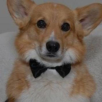 Formal Bow Tie for your dog for that wedding or any special occasion