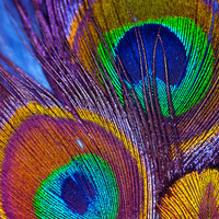 Peacock Feather Photography Decor | Rainbow Abstract Zen Modern Fine Art | Home Office Bedroom Bathroom Print