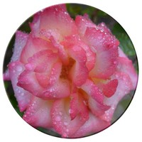 Raindrops on Peppermint Rose