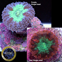 Saltwater Aquarium Corals for Marine Reef Aquariums: Australian Big Polyp Blastomussa - Aquacultured